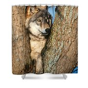 Gray Wolf In Tree Canis Lupus Shower Curtain