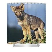 Gray Wolf Pup Montana Shower Curtain