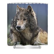 Gray Wolf Resting North America Shower Curtain