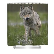 Gray Wolf Walking Through Water Shower Curtain