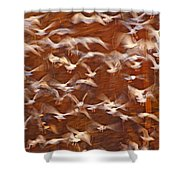 Great Black-backed Gulls Shower Curtain
