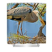 Great Blue Heron Adult Feeding Nestling Shower Curtain