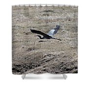 Great Blue Heron Flight Shower Curtain