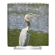 Great Blue Heron In Light  Shower Curtain