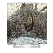 Great Bowerbird Male In Bower Australia Shower Curtain