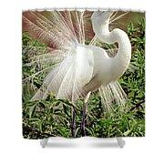 Great Egret Courtship Display Shower Curtain