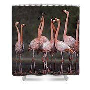 Greater Flamingo Group Courtship Dance Shower Curtain