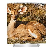 Greater Kudu Calf Shower Curtain