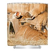Greater Kudu Mother And Baby Shower Curtain