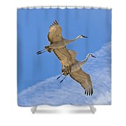 Greater Sandhill Cranes In Flight Shower Curtain