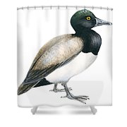 Greater Scaup Shower Curtain by Anonymous