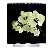 Green And Wine Hybrid Phalaenopsis Orchid Shower Curtain