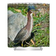 Green-backed Heron Butorides Virescens Shower Curtain