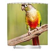 Green-cheeked Conure Pyrrhura Molinae Shower Curtain