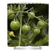 Green Cherry Tomatoes On The Vine Shower Curtain
