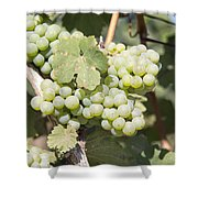 Green Grapes Growing On Grapevines Closeup Shower Curtain