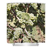 Green Grapes Growing On Grapevines Shower Curtain
