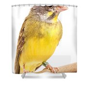 Green Singing Finch Crithagra Mozambicus Shower Curtain