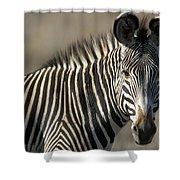 Grevys Zebra Standing In Plains Kenya Shower Curtain