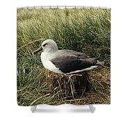 Grey-headed Albatross Nesting Chile Shower Curtain
