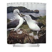 Grey-headed Albatrosses Courting Shower Curtain