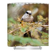 Grey Jay Perisoreus Canadensis Watching Perched Shower Curtain