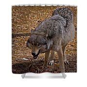Grey Wolf   #2637-signed Shower Curtain