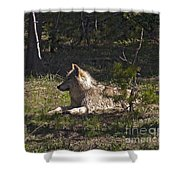 Grey Wolf   #3273-signed Shower Curtain
