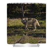 Grey Wolf   #3315 Shower Curtain