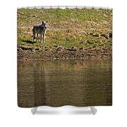 Grey Wolf   #4427 Shower Curtain