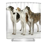 Greyhound Dogs Shower Curtain