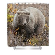 Grizzly Amongst Fall Foliage In Denali Shower Curtain