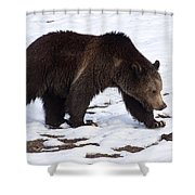 Grizzly Bear  #2463 Shower Curtain