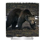 Grizzly Bear  #2510 Shower Curtain
