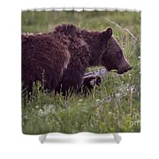 Grizzly Bear  #6192 Shower Curtain