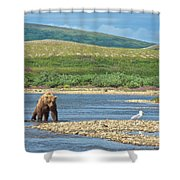 Grizzly Bear Stalking A Gull In The Moraine River In Katmai National Preserve-alaska Shower Curtain