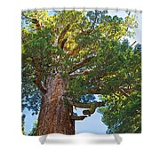 Grizzly Giant Sequoia Top In Mariposa Grove In Yosemite National Park-california    Shower Curtain