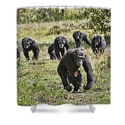 group of Common Chimpanzees running Shower Curtain