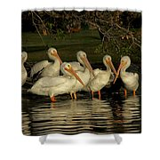 Group Of White Pelicans Shower Curtain