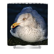 Gull Resting Shower Curtain