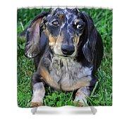 Gus The Dappled Miniature Dachshund Shower Curtain