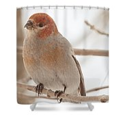 Handsome Pine Grosbeak Shower Curtain