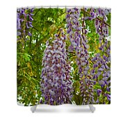 Hanging Wisteria Blossoms Shower Curtain