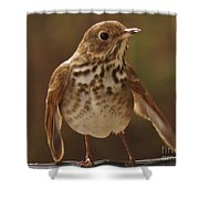 Happy Hermit Thrush Shower Curtain