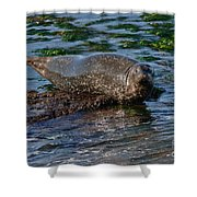 Harbor Seal At Low Tide Shower Curtain