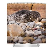 Harbour Seal   Shower Curtain
