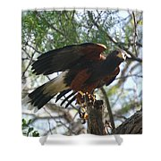 Harris Hawk Shower Curtain