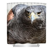 Harris Hawk Ready For Attack Shower Curtain