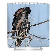 Harris Hawks Shower Curtain