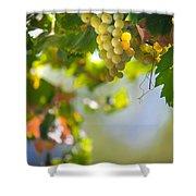 Harvest Time. Sunny Grapes V Shower Curtain